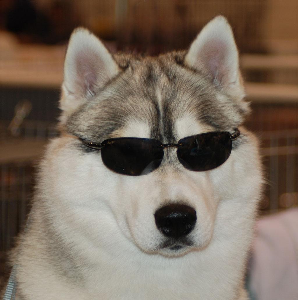 Husky bianco e marrone wroc awski informator internetowy - Husky con occhi diversi ...